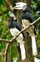 Oriental Pied Hornbills  [Darec C]